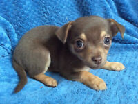 Chihuahua Toy  puppies/ NEW LITTER SOON