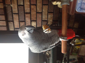 Selling an African Grey Parrot Maxwell