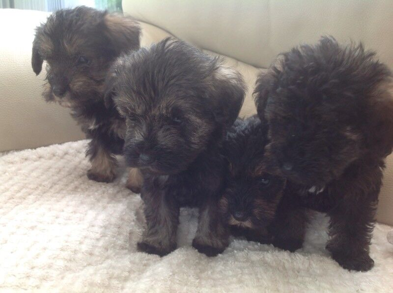 Schnoodle Puppies For Sale In Denny Falkirk Gumtree