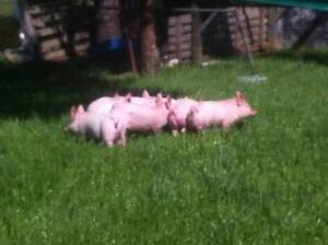 Spit Piglets for sale Tullamarine Hume Area Preview