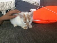 1 white and ginger male kitten