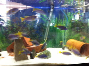 Cichlids for Sale - BLOW OUT PRICES