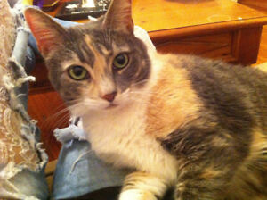 Emmy - Lost Female Cat - Dilute Calico Shorthair