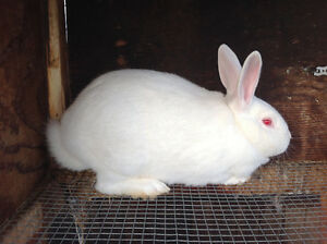 New Zealand and California rabbits for sale