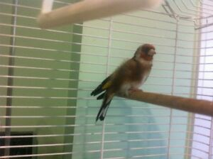 Euro Gold Finch (Male)-----------------SOLD