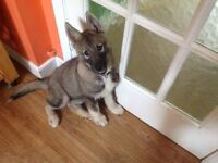 Female Siberian husky puppy last of litter