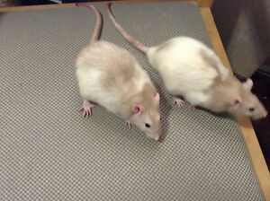2 male vet checked male rat brothers .free to responsible home