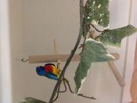 Gorgeous Splendid Grass Creek Parakeet