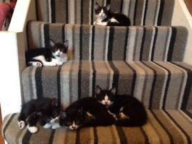 Beautiful black & white kittens , 4 boys & one girl , litter trained