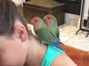 Oiseaux inséparables avec cage et accessoires