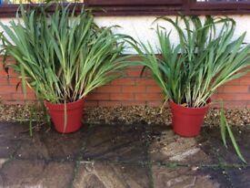 Garden Plant - Crocosmia