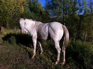 """2013 ApHcc filly """"Im Mighty Brite Lady"""" Williams Lake Cariboo Area image 5"""