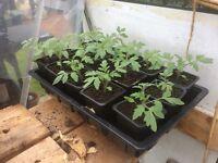 Alicanti tomato plants