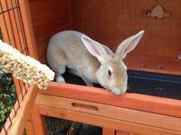 Lovely Female Rabbit needs a forever home