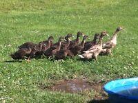 Rouen Ducklings 5-6 weeks old