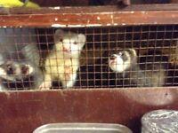 Baby ferrets / Kitts