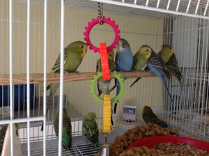 Baby budgies 2 left, on hold till Monday