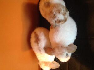 3x mini Lop bunnies Kitchener / Waterloo Kitchener Area image 2