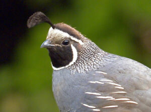 Male Valley Quail for sale