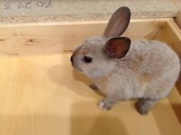 5 week old bunnies for sale