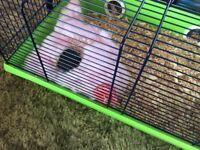Black female hamster
