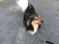 This 5 year old Papillon mix is looking for a new home