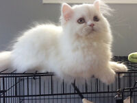 CCA REGISTERED TRADITIONAL WHITE PERSIAN FEMALE