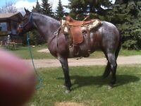 "TRADE  Reg QH 8 yr mare( goes West or Eng) for "" ranch Honda"""