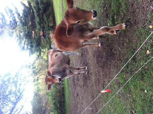 2 Jersey steers for sale