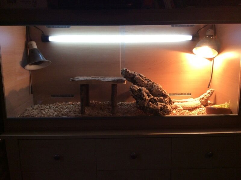2 Bearded Dragons with large vivarium
