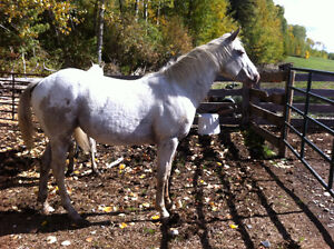 """2013 ApHcc filly """"Im Mighty Brite Lady"""" Williams Lake Cariboo Area image 8"""