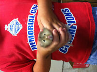 hamster free to good home