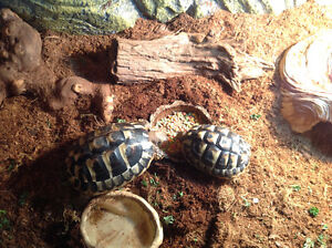 2 Hermann's tortoise and accessories