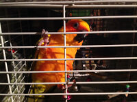 Sun Conure and Budgie