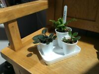 Indoor Plants - St Paula, Jade and Nephrolepsis