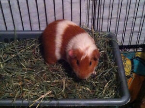 9 Month Old Male Guinea Pig Needing A New Home