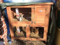 Rabbits with wooden hutch