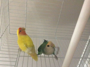 LOVEBIRD PAIR FOR SALE