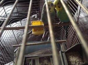 Budgie birds /cage