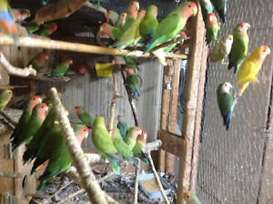 LOVEBIRDS FOR SALE BABIES (READY TO HAND FEE) London Ontario image 6