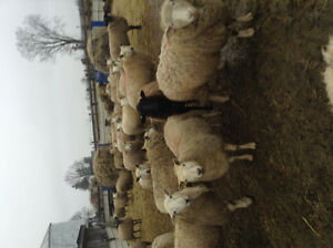 Sheep.... Bred Ewes