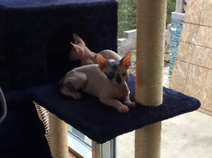 Chats sphynx