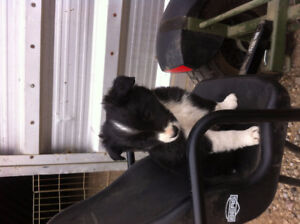 border collie pups for sale!!!!!!