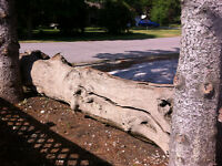 Giant driftwood log