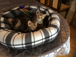 Social Purebred Bengal kittens-ready to go