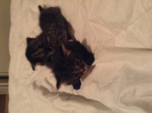 Adorable ragdoll/savannah kittens for sale