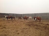 Longhorns for sale with bull
