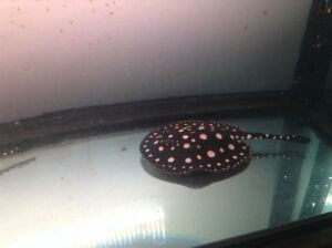 Raie black diamand stingray