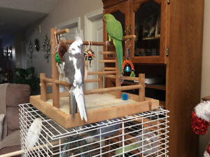 1 year old male Indian ring neck parrot