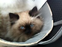 *Pure Bred Male Himalayans kittens available*